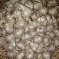 LittleMeadows garlic